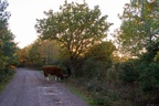 Autumn Sunset with Cow