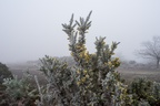 Gorse Covered in Frost