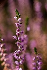 Common Heather Flowering