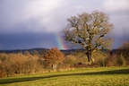 Rainbow by Old Oak Tree