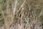 Stonechat on Teasel