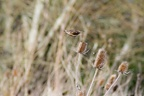 Stonechat in Flight