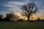 Oak Tree Sunset Silhouette