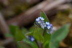 Early Forget-me-not