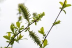 Goat Willow Female Catkins